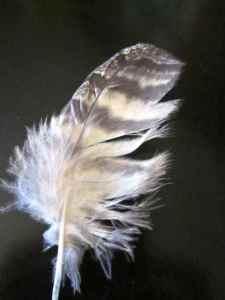 hawkorgoldeneaglefeather