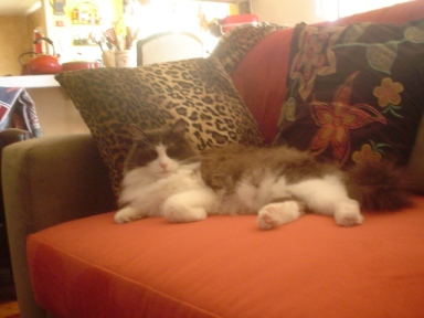 This is my beloved Bandit (deceased) who allowed us to share her sofa-sometimes.