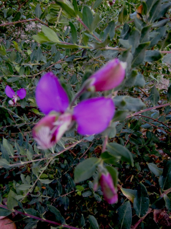 Sweet Pea Bush flower