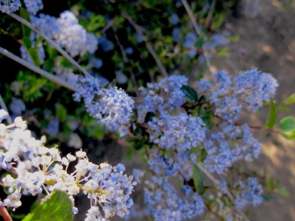 Lilac ceanothus