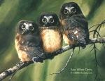 Saw-whet owls