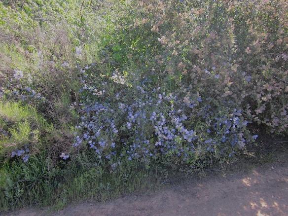 Ramona lilac ceanothus