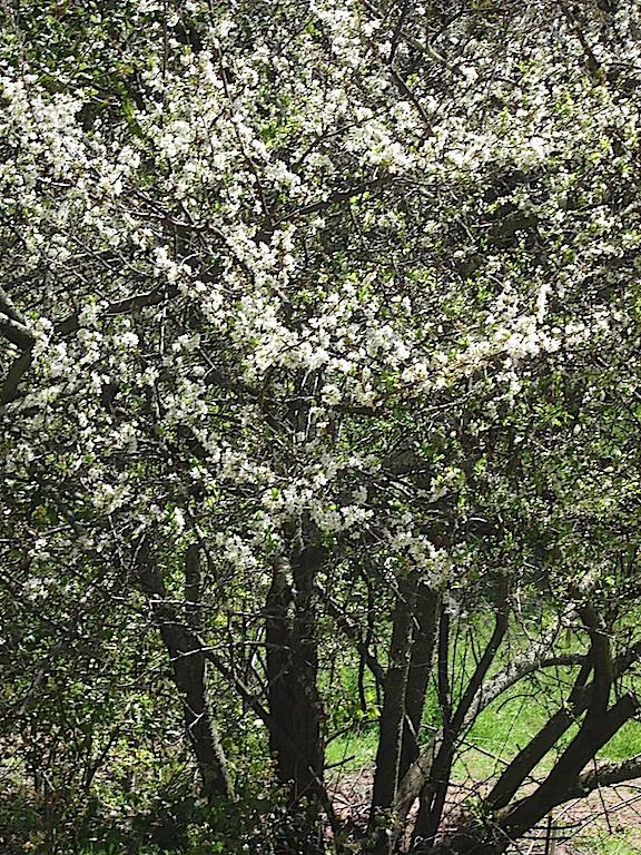 white lilac ceanothus