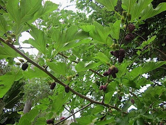 mulberry tree2