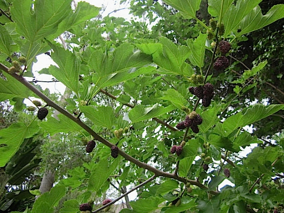 mulberry tree2