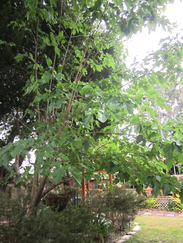 mulberry tree3