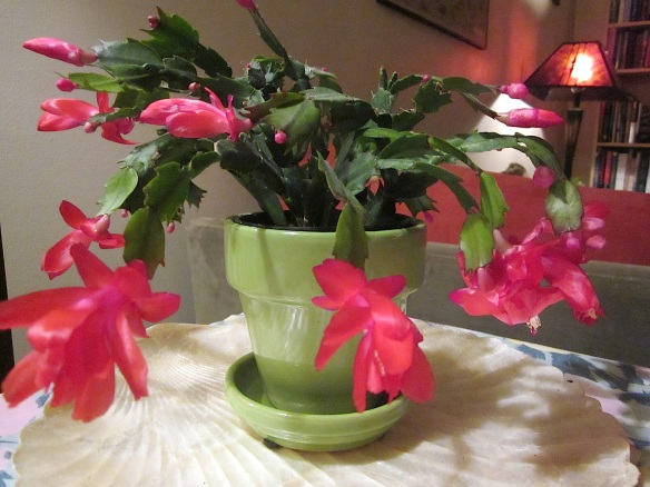 Christmas Cactus1