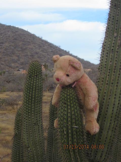 Eddy bear cactus