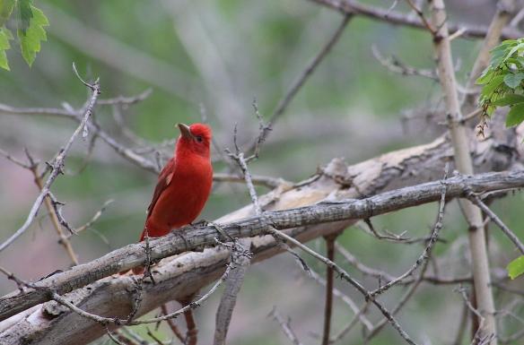 zionredbird