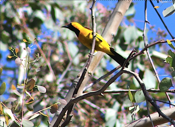 yellowbirdzoom