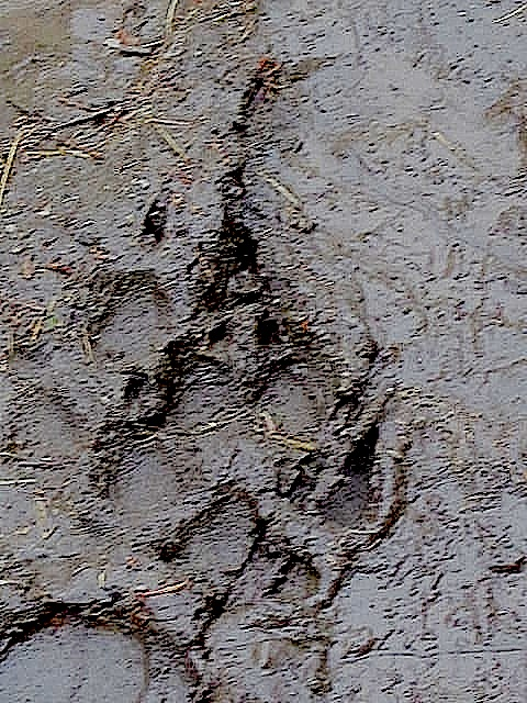 Wolf print Yellowstone