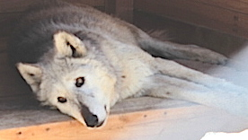 wolf8