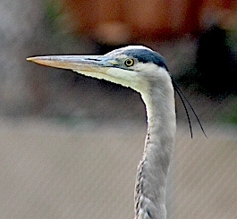 greatblueheron2