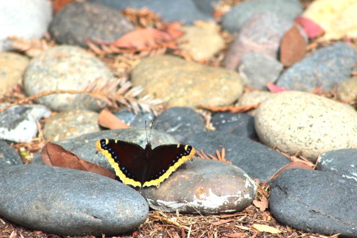 butterflyrock1
