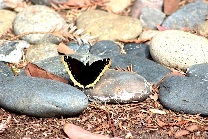 butterflyrock2