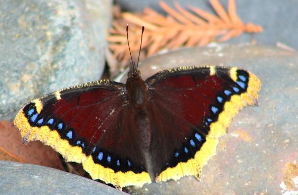 butterflyrock6