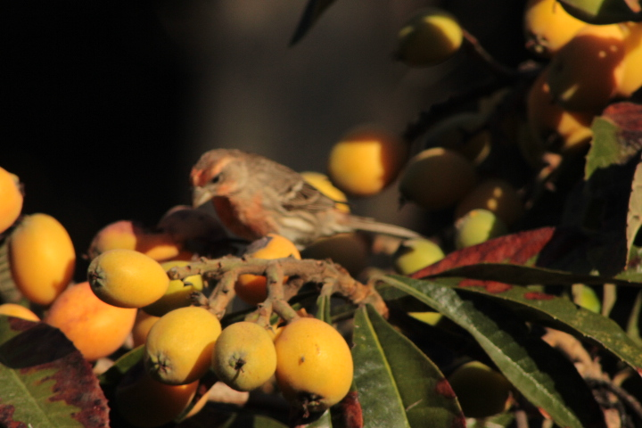 housefinch3