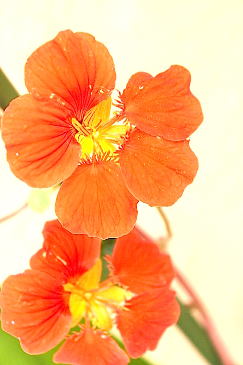 Nastursiums orange