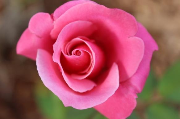 RoseOct5