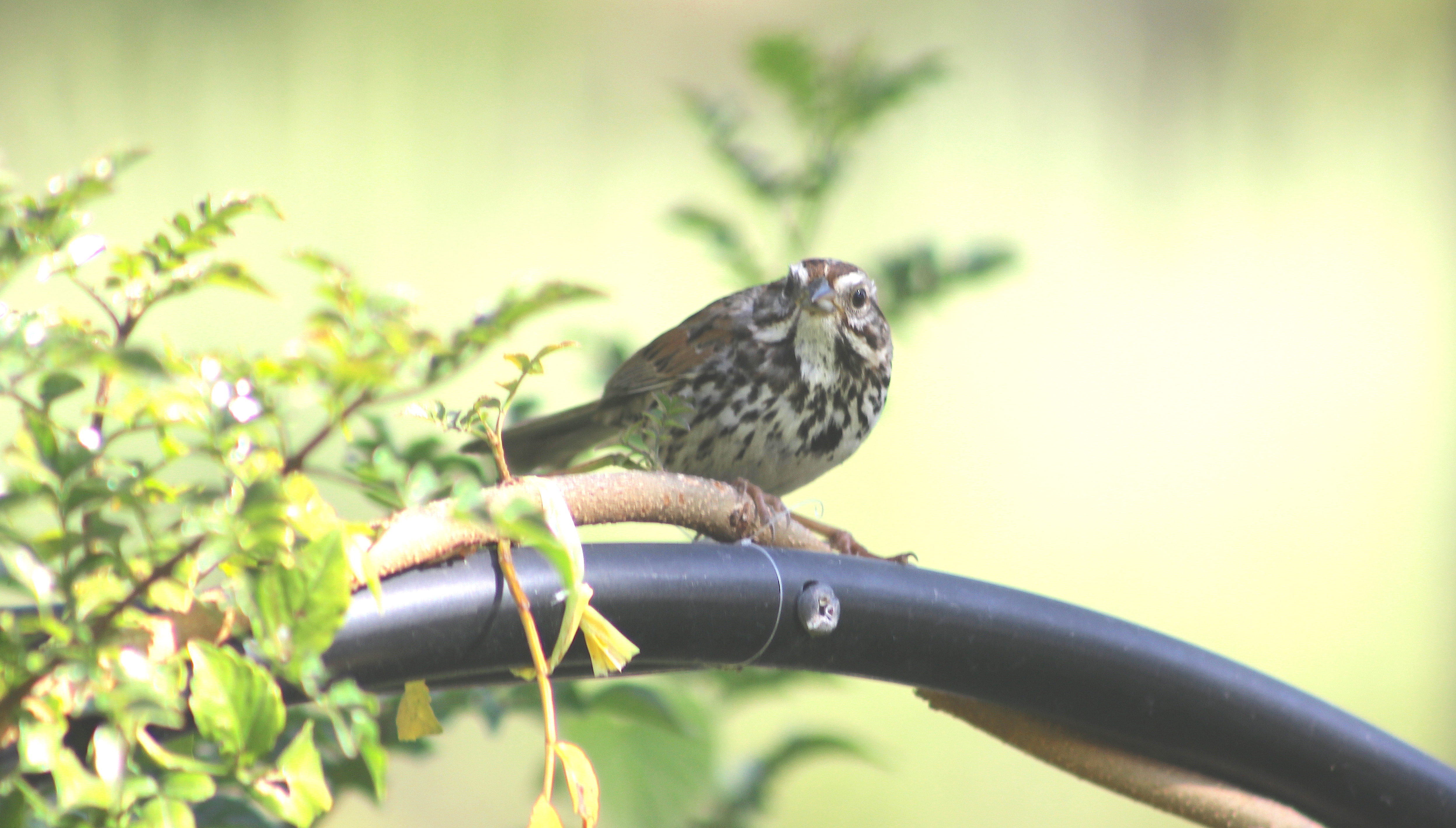 sparrow1